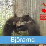 Björnarna på Kolmården