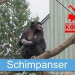 Schimpanser på Kolmården