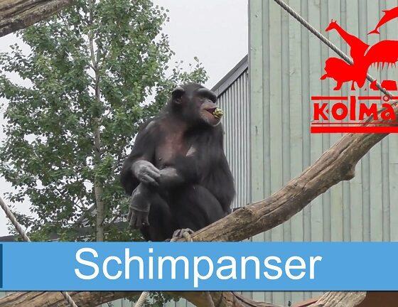 Schimpanser