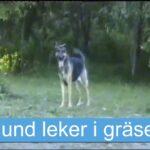En hund som leker i gräset