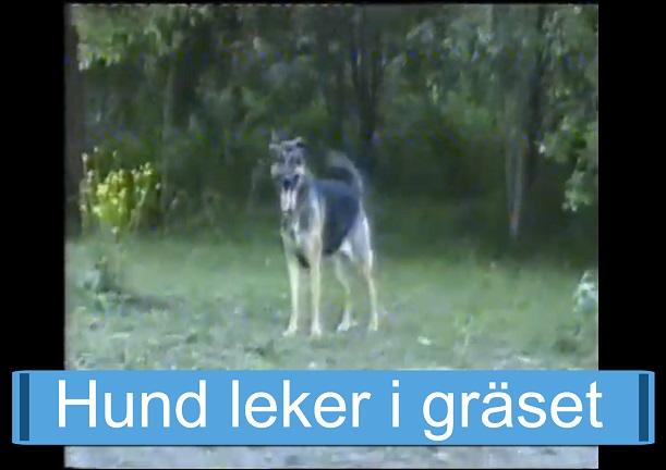 Hund leker i gräset